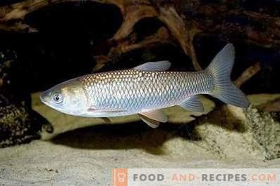 Риба од бела трева: корист и штета