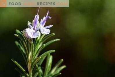 Масло од роземари: својства и користи